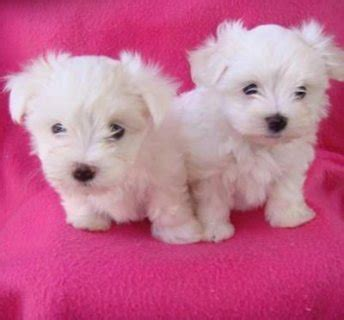 teacup maltese puppies for adoption teacup maltese puppies available for adoption تونس 4162