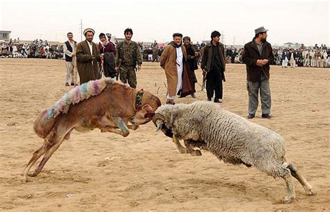 new year animals ram camel fighting ram baiting and goat grabbing new year