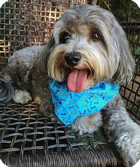 facts about havanese facts about breed havanese lhasa apso mix color gray silver salt pepper