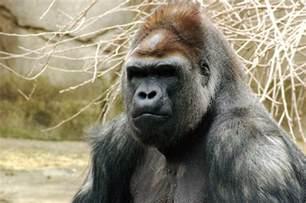 gorilla file gorilla 019 jpg wikipedia
