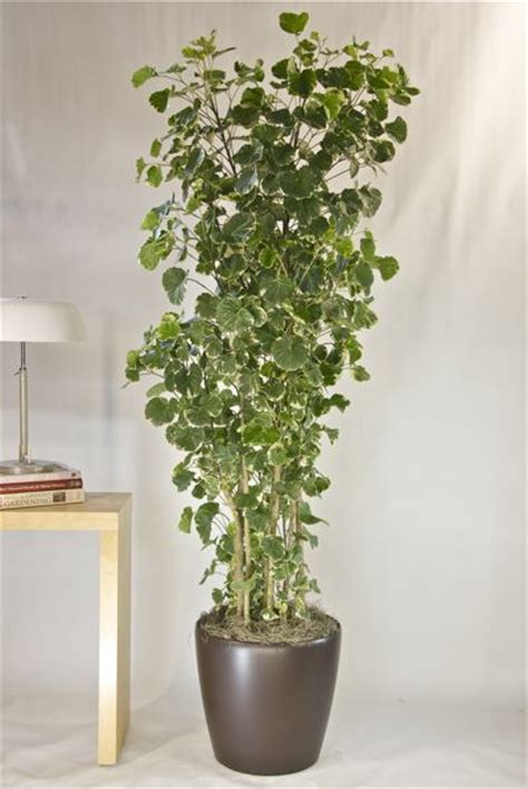 Houston Interior Plants by 97 Best Images About Aralias On Trees Bonsai