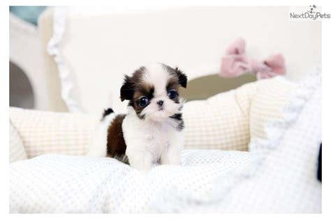 teacup shih tzu puppies for sale in tiny teacup shihtzu shih tzu puppy for sale near edmonton alberta 5a29acda ee71