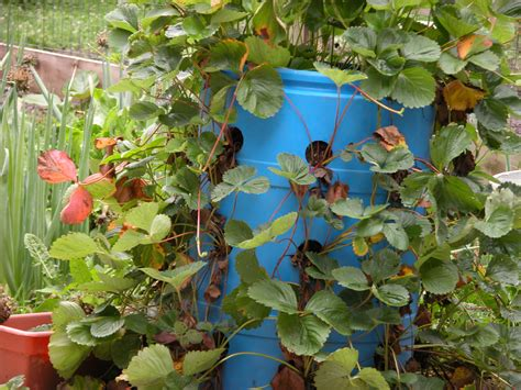 Plastic Barrel Strawberry Planter by Strawberry Barrel Bunching Onions Another Of Pat S