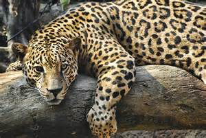 Endangered Jaguar Endangered Species Of Costa Rica The Jaguar