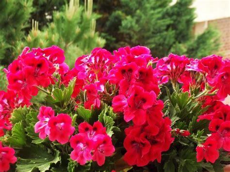fiori geranio geranio piante per giardino cura e coltivazione geranio