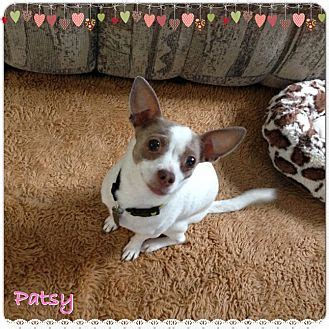 puppy adoption jacksonville jacksonville fl chihuahua meet patsy a puppy for adoption
