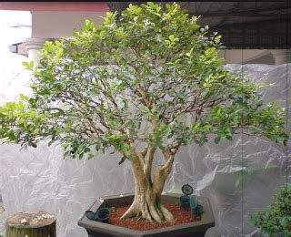 Polybag 30 X 25 Cm Tidak Lubang cara menanam bonsai murbei centralbonsai berbagi