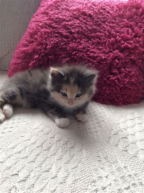 ragdoll x ragdoll x maine coon leicester leicestershire pets4homes