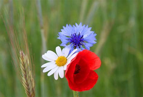Bunga Morning Blue Wildflower um8 white and blue jubilee wildflower mix