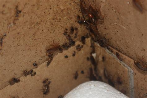 german cockroach nymphs