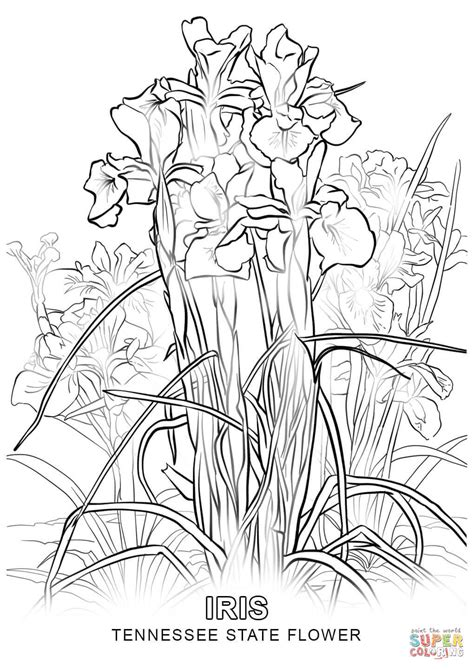 tennessee state flower coloring page free printable