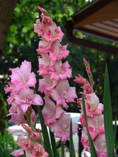 gladiolus flowers gladiolus auntie dogma s garden spot