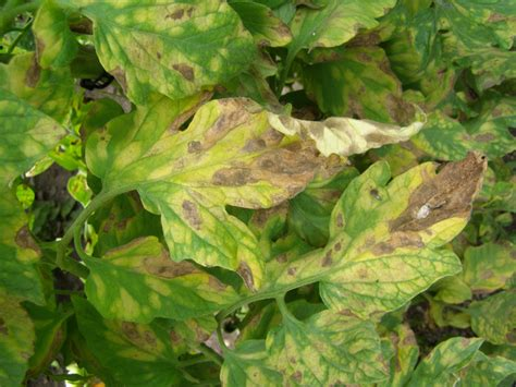 plant leaf diseases leaf mold of tomato commercial fruit and vegetable
