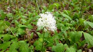 Pointed Flowers - white baneberry doll s eyes pere marquette rail trail