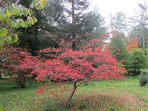 purple leaved japanese maple acer palmatum atropurpureum