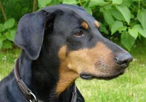 doberman pinscher my rocks