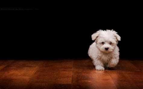 tiny petite small dog wallpaper 43915