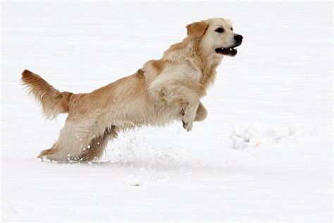 golden retriever jumping file golden retriever carlos im schnee 10577829796 jpg wikimedia commons