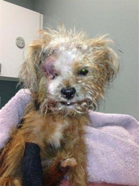 dead yorkie abandoned yorkie goes from tragedy to courage