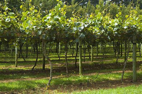 fruits n such orchard datei kiwi fruit orchard n jpg