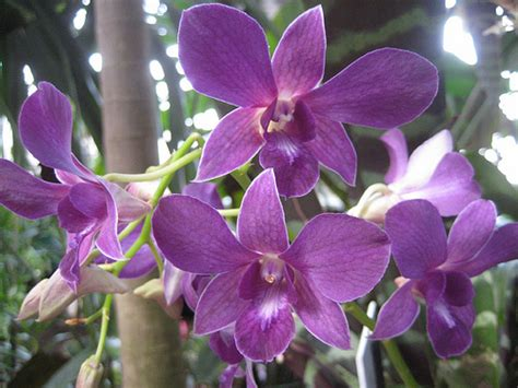orchids facts dendrobium orchids orchid information