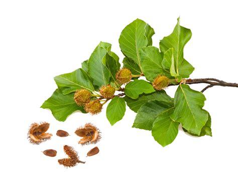 fiori di bach beech fiori di bach benessere alimentazione sana prodotti