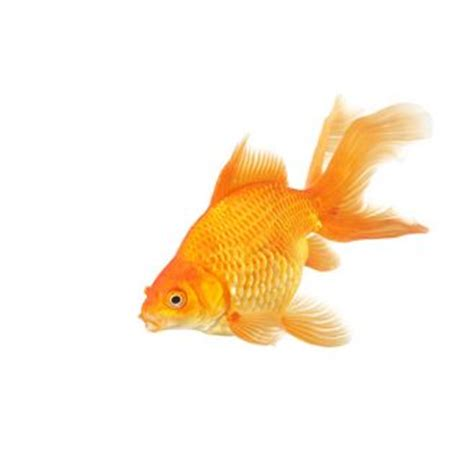 Stylehive Buzz A Fishbowl Shaped Like A Fishbowl From Chiasso Fashiontribes Home Decor by Fantail Goldfish Breed Information Catdogfish