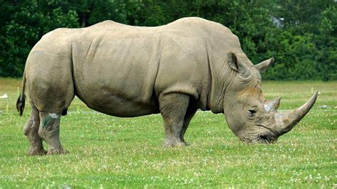 imagenes rinoceronte blanco hipopotamo vs rinoceronte blanco forocoches