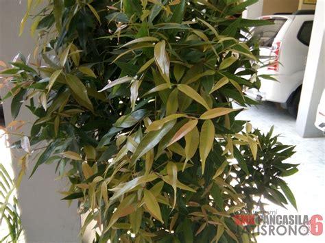tanaman pucuk merah smk pancasila  jatisrono