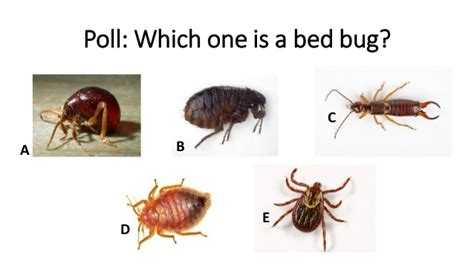 bed bug vs tick bed bugs how to protect your library from infestation