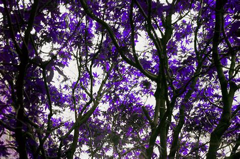 trees with purple leaves flickr photo sharing