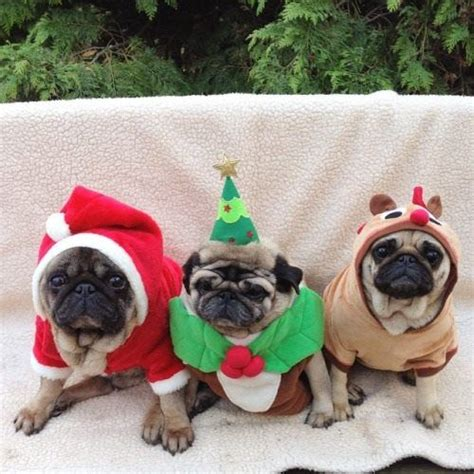 three pugs 78 images about pugs on merry brindle pug and merry