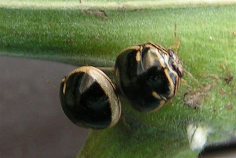 how do bed bugs mate mating black stink bugs from hawaii what s that bug