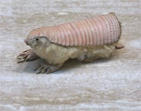 Armadillo Pet Pet Pet Product by Pink Armadillo Chlamyphorus Truncatus Animals
