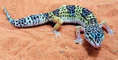Alas Kandang Reptil fauna gecko