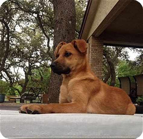 black cur golden retriever mix lolly adopted puppy san francisco ca black cur golden retriever mix