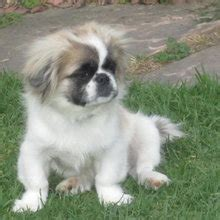 pekingese shih tzu mix puppies shinese shih tzu x pekingese mix info temperament puppies pictures