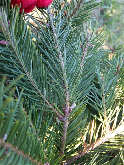 what christmas tree smells like citrus types of trees tree species at middleburg farm