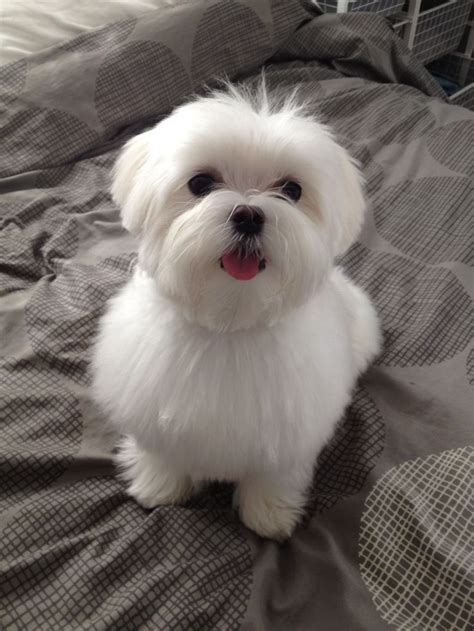 pictures of hairstyles for maltese dogs maltese haircut styles maltese pinterest