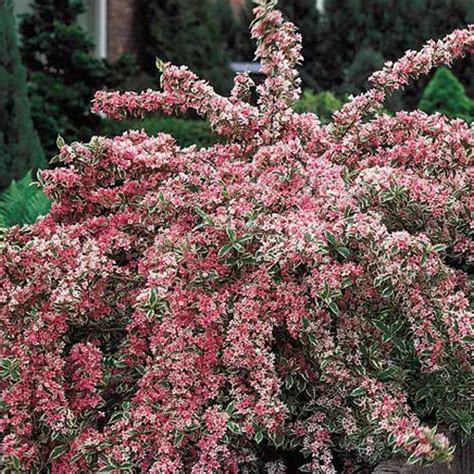variegated shrub with pink flowers buy pink splash variegated weigela at hill nursery