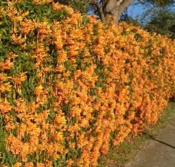 Garden Wall Trellis Gardensonline Pyrostegia Venusta Syn Pyrostegia Ignea