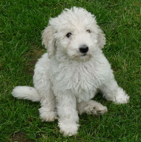 golden labradoodle puppy goldendoodle puppies sandwich kent pets4homes
