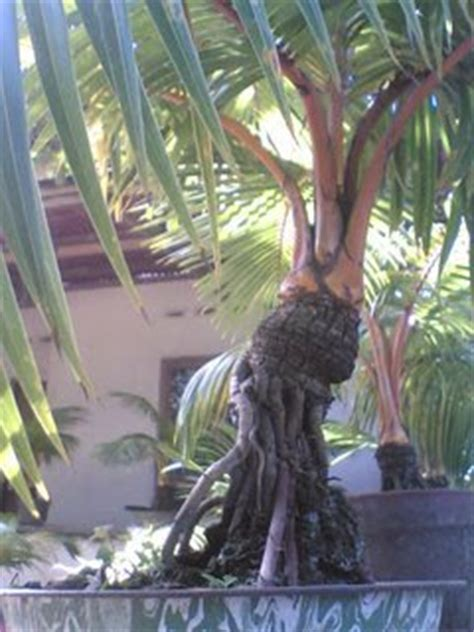 Bibit Kelapa Puyuh Hibrida klabon proses pembuatan bonsai kelapa