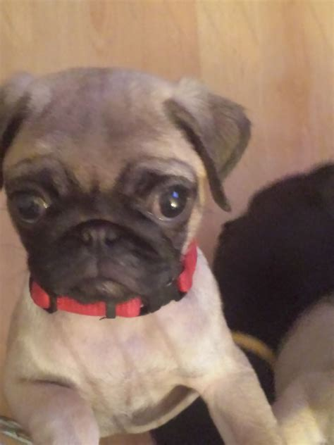 fawn pug for sale black fawn pug pups for sale runcorn cheshire pets4homes