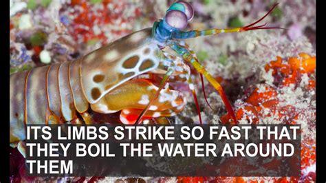 mantis shrimp colors mantis shrimp colors renee illustration peacock mantis