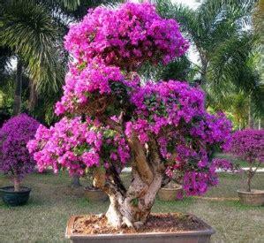 Tanaman Bunga Bougenvile Ungu cara merawat bunga bougenvile agar cepat berbunga