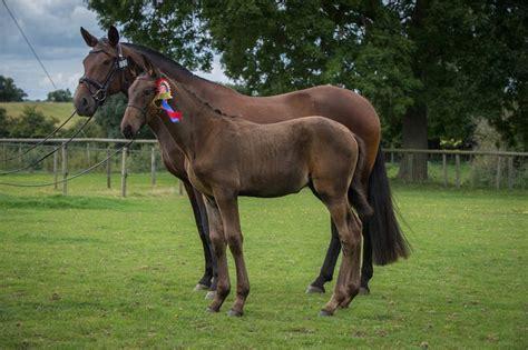 horses for sale uk horses for sale breeders uk