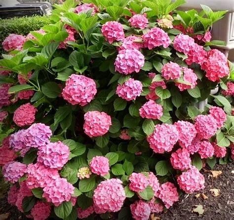 Bunga Hias Hydrangea jual tanaman forever pink mophead hydrangea bibit