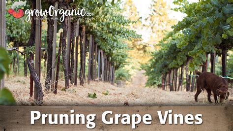 pruning grape vines youtube