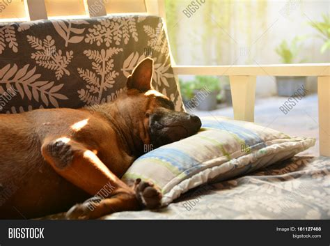 dog sleeping on couch dog sleeping on sofa and take some rest stock photo